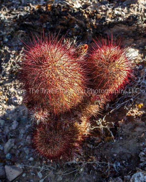 26.  Texas Rainbow Cactus