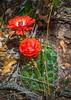 10.  Claret Cup Cactus