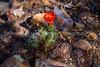 8.  Claret Cup Cactus