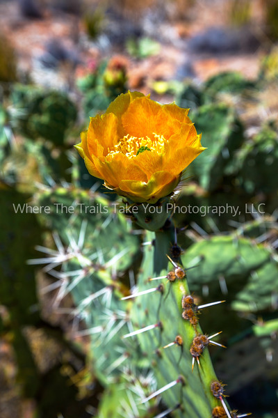 15.  An Orange Prickly Pear Bloom