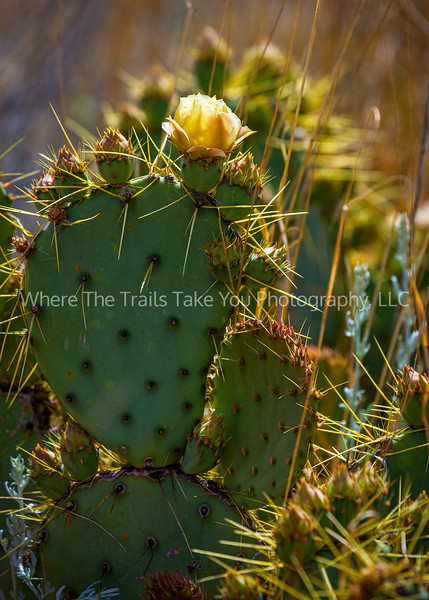 14.  Afternoon Light on A Chisos Prickly Pear