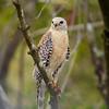 Rookery Hawk