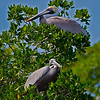Rookery Bay Pelicans