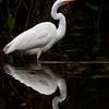 Big Cypress Swamp Egret