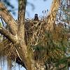 Eaglet Big Cypress Boardwalk