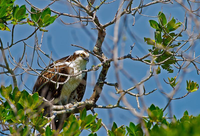 Rookery Bay Osprey