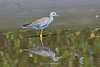 Greater Yellowlegs, Ten Thousand Islands National Wildlife Refuge