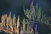 Dewy cypress leaves