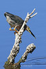 Green Heron strike, Ten Thousand Islands National Wildlife Refuge