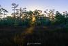 Sunrise through cypress