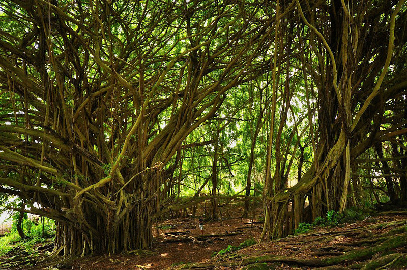 Banyan Tree, Rainbow Falls State Park, Hilo, Hawaii
