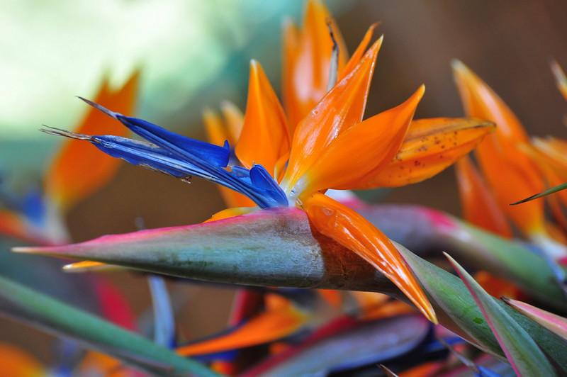 Bird of Paradise, Farmers Market, Kailua-Kona, Big Island, Hawaii