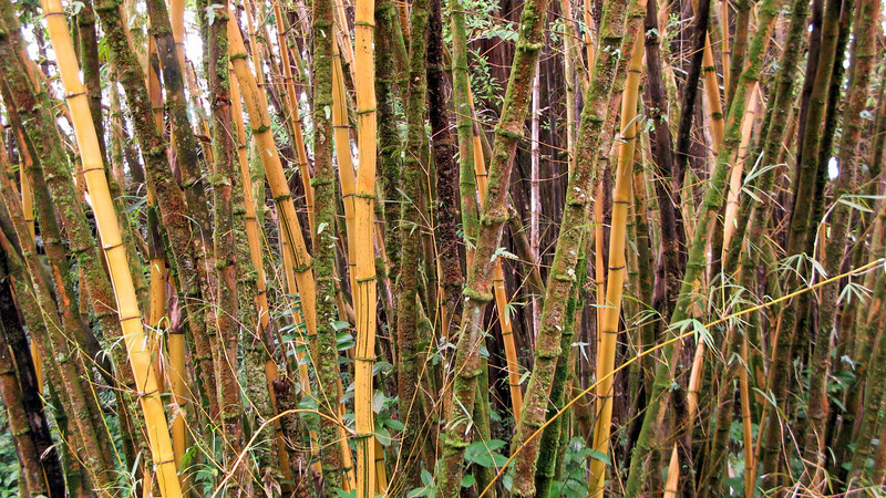 Bamboo, Akaka Falls State Park, South Hilo, Big Island, Hawaii