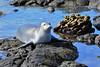 Monk Seal, Pu'uhonua o Honaunau, Keoneele Cove, South Kona, Big Island, Hawaii