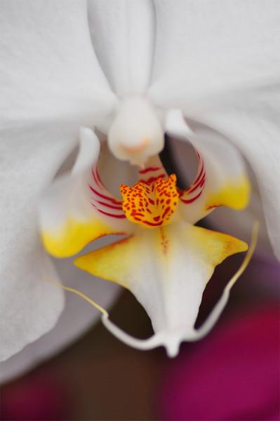 Orchid, Farmers Market, Kailua-Kona, Big Island, Hawaii