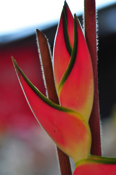 Bird of Paradise, Farmers Market, Kailua-Kona, Big Island, Hawaii