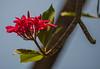 Plumeria / Waikoloa Big Island Hawaii