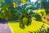ULU / Breadfruit near Painted Churc Honaunau Kona Hawaii 8.17.13