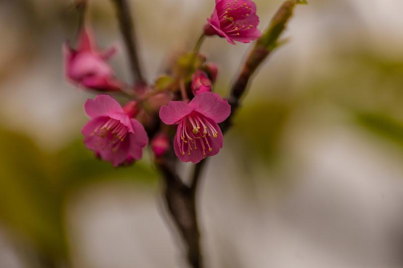 Sakura Waimea 1.25.14