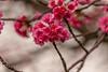 Sakura Festival; Sakura Waimea 1.25.14; waimea