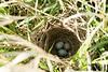 Parisitized Nest