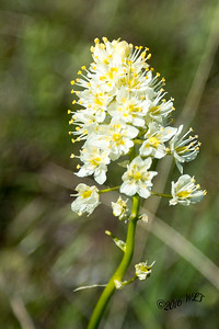 Small Beargrass Blossom