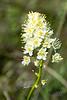 Small Beargrass Blossom