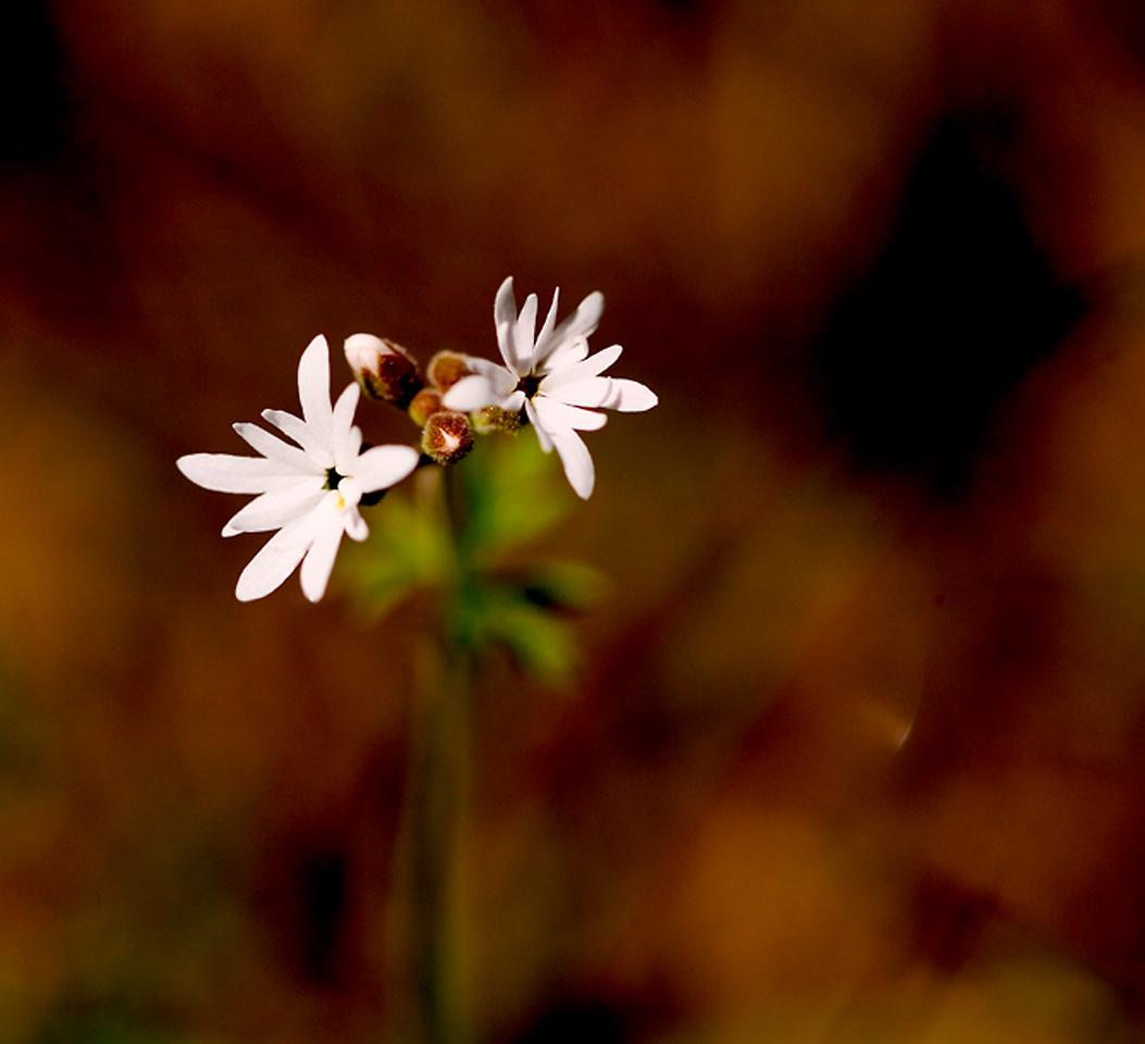 038_05 05 27_Big Summit Prairie  wildflowers