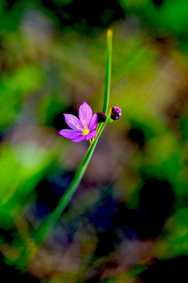 083_05 05 27_Big Summit Prairie  wildflowers