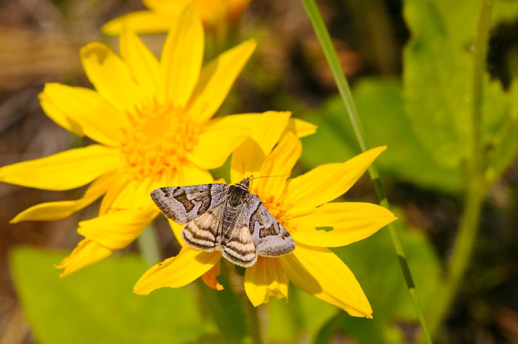 017_05 05 27_Big Summit Prairie  wildflowers