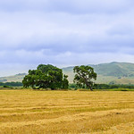 """Two Oak Trees in the Field""  Pastoral setting of Two Oak Trees"