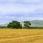 """Two Oak Trees in the Field""  Pastoral setting of Two Oak Trees"
