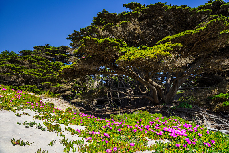 """Cypress Tree and Ice Plant at Pfeiffer Beach"" Big Sur, California"
