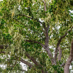 """Spanish Moss on the Trees at the Carmel Mission"""