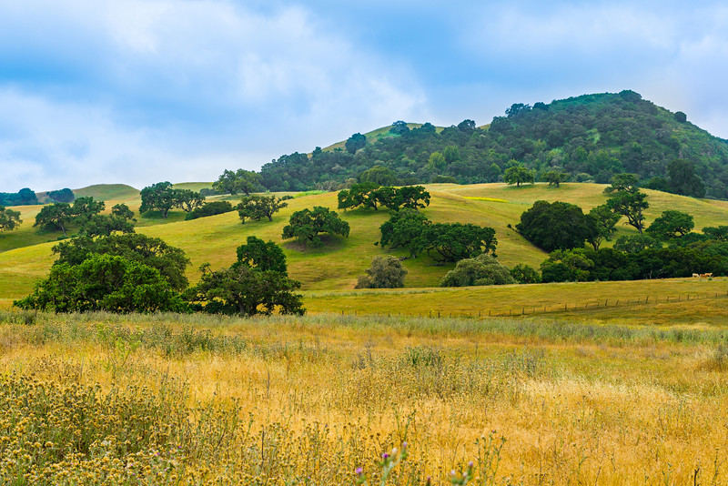 """Oaks in the Hills""  California Pastoral Setting"