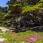 Cypress-Tree-Big-Sur-Pfeiffer-Beach-Ice-Plant-Pink-Flowers-Purple-Sand-Julia-Pfeiffer-Burns-State-Park-Big-Sur_D819007