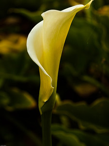 Calla Lilly, Garrapata Beach