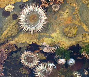 Tide Pool, Weston Beach, Point Lobos State Reserve