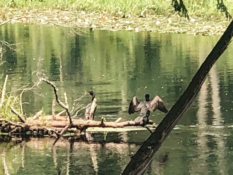 Herons on the Ipswich River