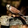 Birds of Prey photo-shoot in Northumberland Pt II