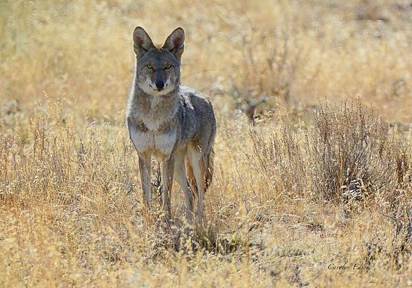 Beautiful Coyote