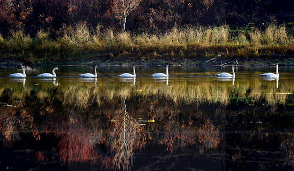 7  Swans a swimming.