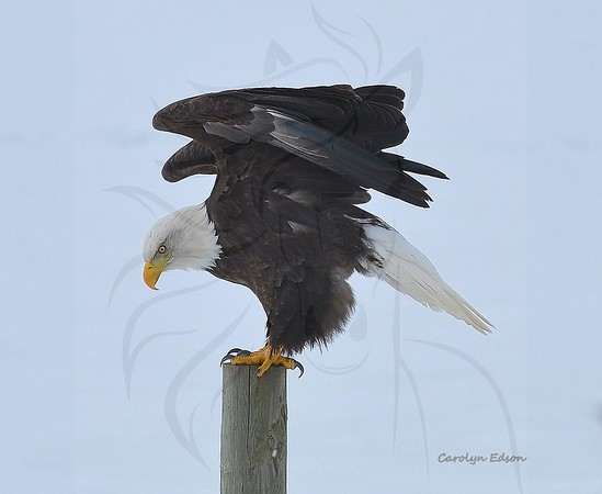 Other Wild life. Birds, Eagles etc