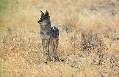Love Coyotes…..
