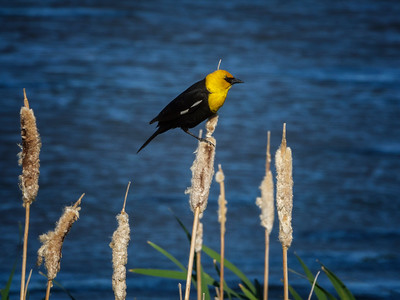 Yellow-headed Blackbird (Xanthocephalus xanthocephalus) Male