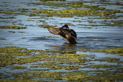 Northern Shoveler Female  (Anas clypeata)