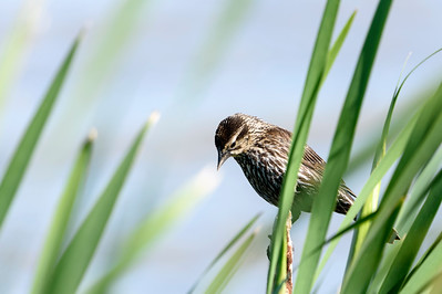 Red-winged Blackbird female (Agelaius phoeniceus}