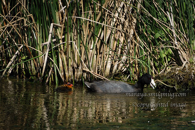 American Coot and duckling