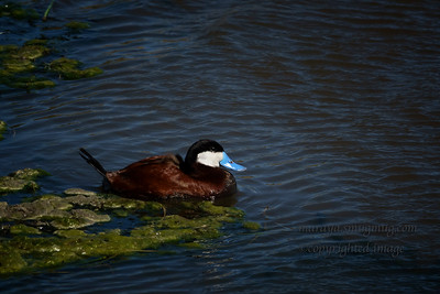 Ruddy Duck  (Oxyura jamaicensis) Male