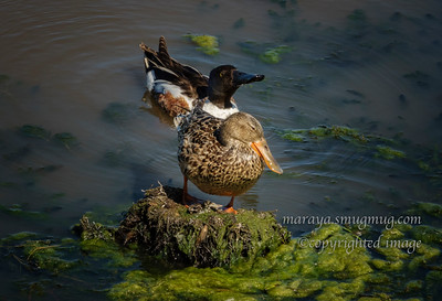 Northern Shoveler Female and Male (Anas clypeata)